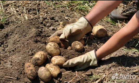 Если снится что сажаешь картофель 299