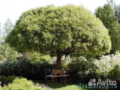 Ива ломкая или Ракита (Salix fraglis) купить в Новосибирской ...