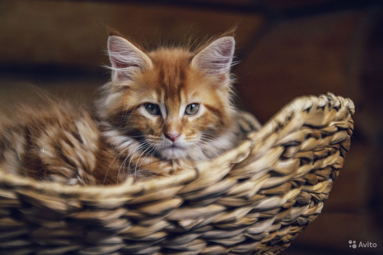 Солнечный котенок мейн-кун в Москве - фотография № 7