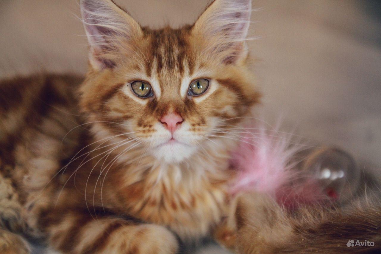 Солнечный котенок мейн-кун в Москве - фотография № 3