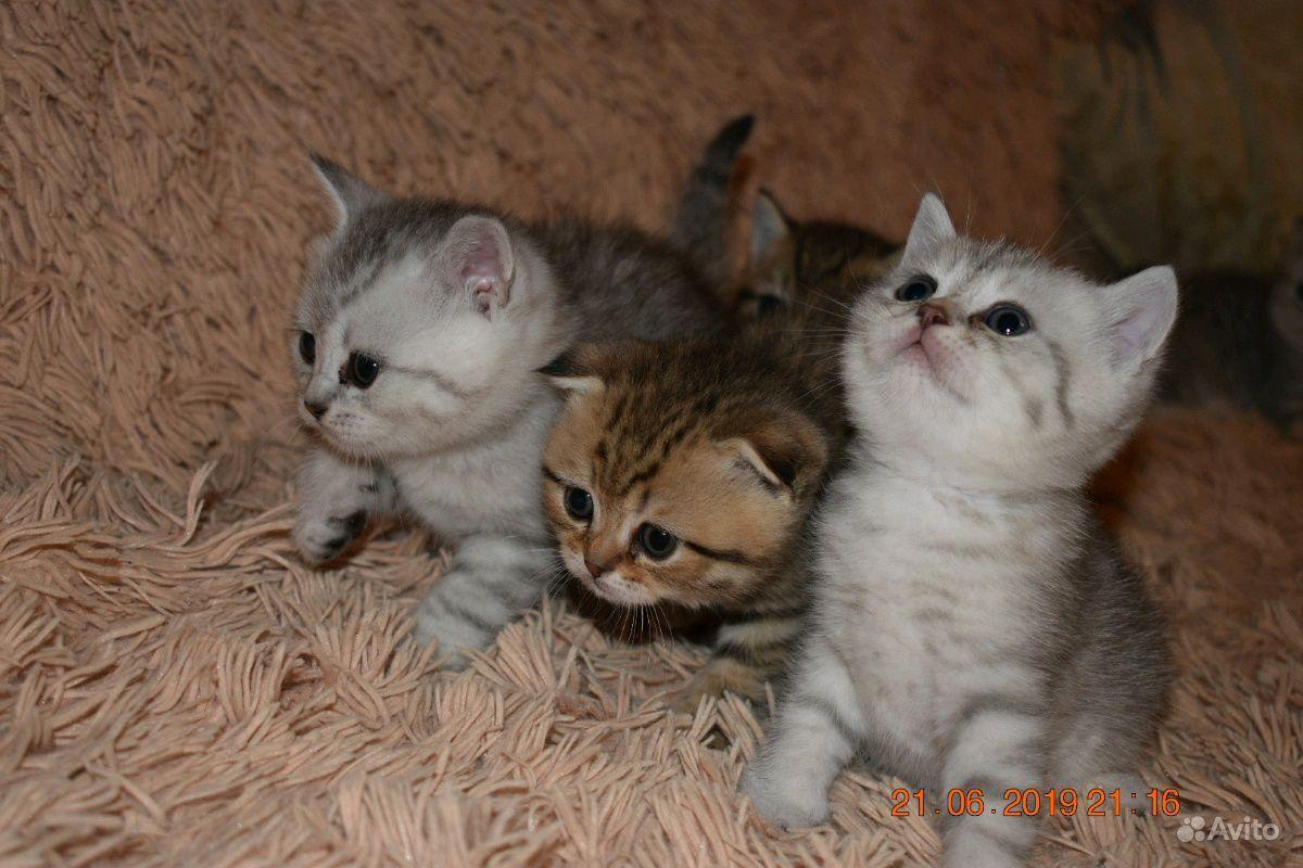 Шотландские котята в Пензе - фотография № 8