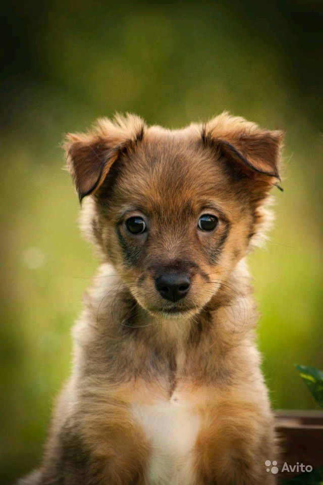 Маленький щенок в дар, некрупный щенок в дар, Щенк
