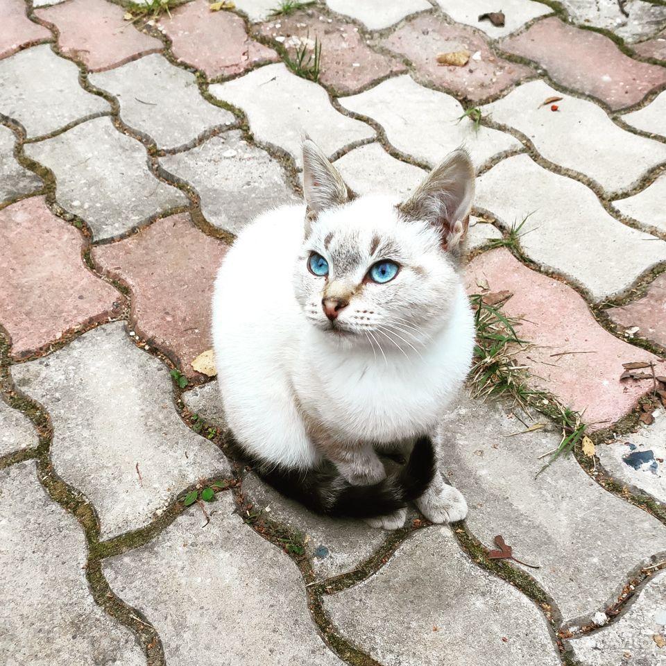 Кошечка котенок с голубыми глазами