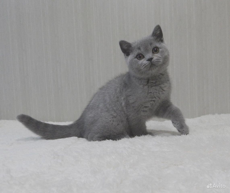 Британские котята в классических окрасах - фотография № 5