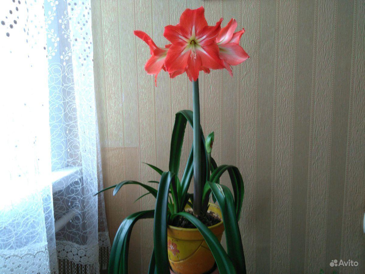 Амариллис Крупноцветковый купить на Зозу.ру - фотография № 1