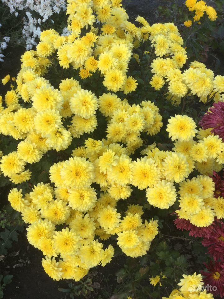 Хризантемы купить на Зозу.ру - фотография № 8