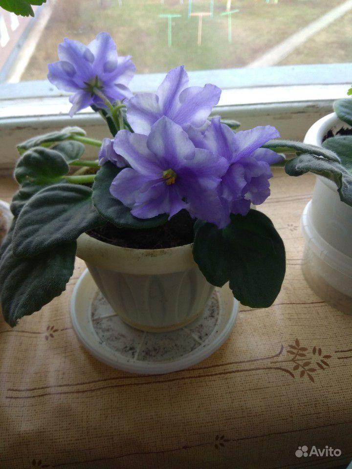 Комнатные цветы купить на Зозу.ру - фотография № 7