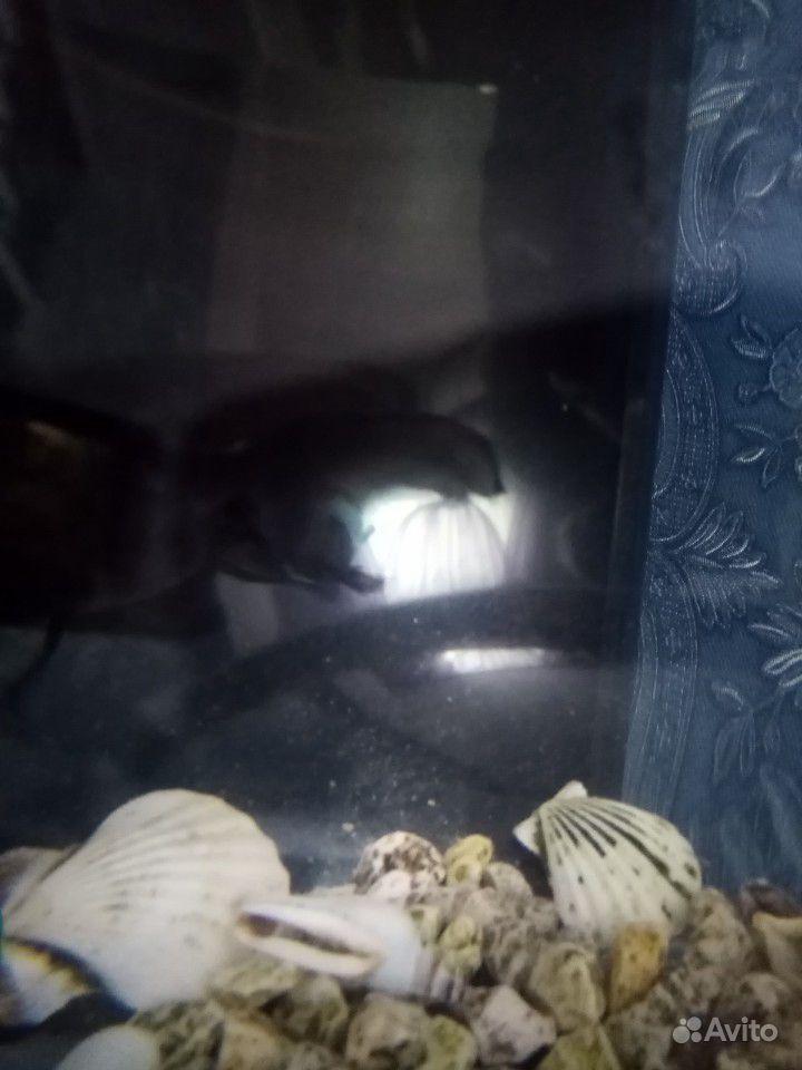 Аквариум рюмка с золотой рыбкой (телескоп) купить на Зозу.ру - фотография № 3