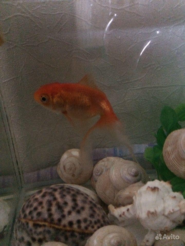 Рыба золотая купить на Зозу.ру - фотография № 2
