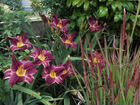 Сортовые лилейники, злаки и цветы для сада