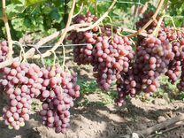 Виноград Ливия — Растения в Рязани