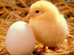Цыплята бройлер