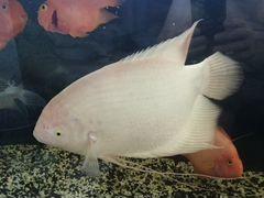 Гурами альбинос 40 - 50 см