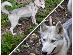 Метис хаски - молодая собака Лекса