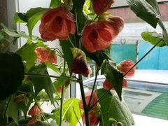 Цветок амбутилон