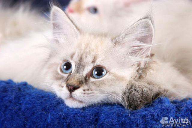 котенок невской маскарадной в спб