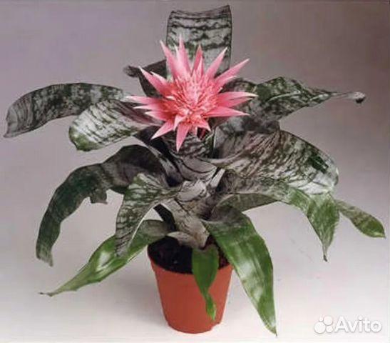 Эхмея - Aechmea: фото, условия выращивания, уход и ...