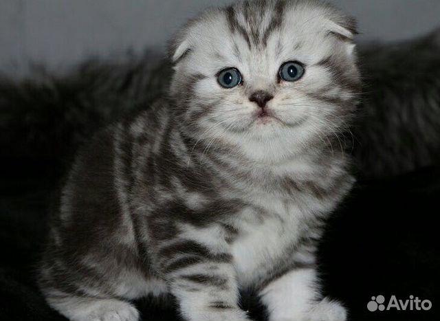Шотландские вислоухие котята дать объявление продажа готового бизнеса хостел