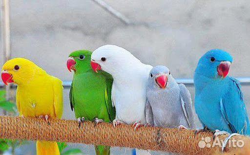 Новосибирск доска объявлений купить попугая подать объявление в газету г.альметьевска