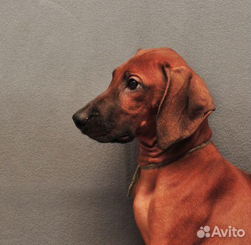 Подрощен,стандартн.щенки риджбека от Интерчемп,Шв купить на Зозу.ру - фотография № 7