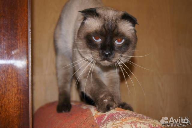 Найти вислоухого кота для кошки для вязки