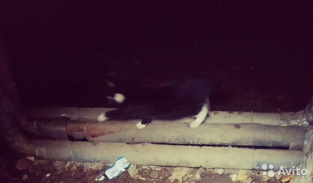Найден котенок, черно-белый биколор смокинг купить 1