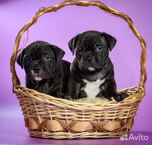 Американского Булли щенки купить на Зозу.ру - фотография № 4