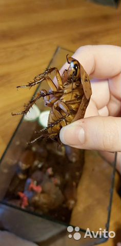 Кормовые тараканы Blaberus giganteus  89511632080 купить 2