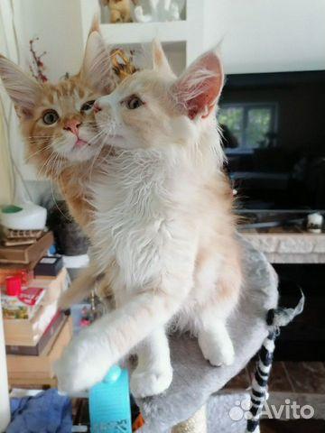 Котята мейн-кун купить 6