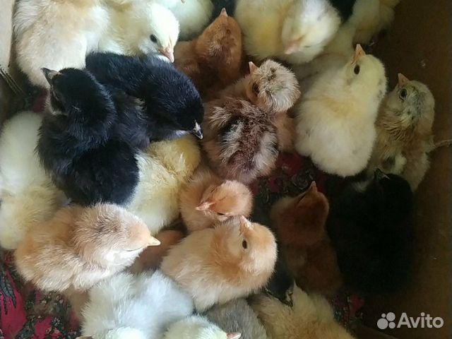 Цыплята  89899234259 купить 1