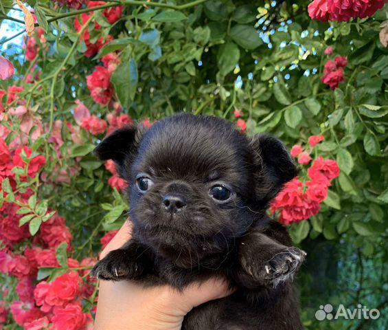 Boys Chihuahua  buy 4