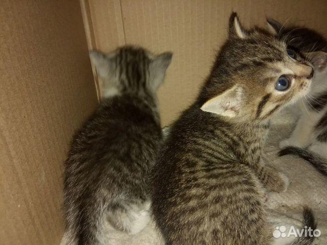 Котята  89049699236 купить 1