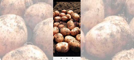 авито кчр семена картошки