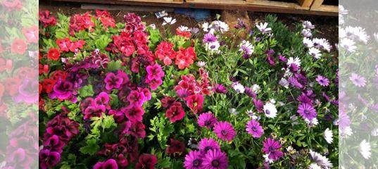 авито рассада цветов москва