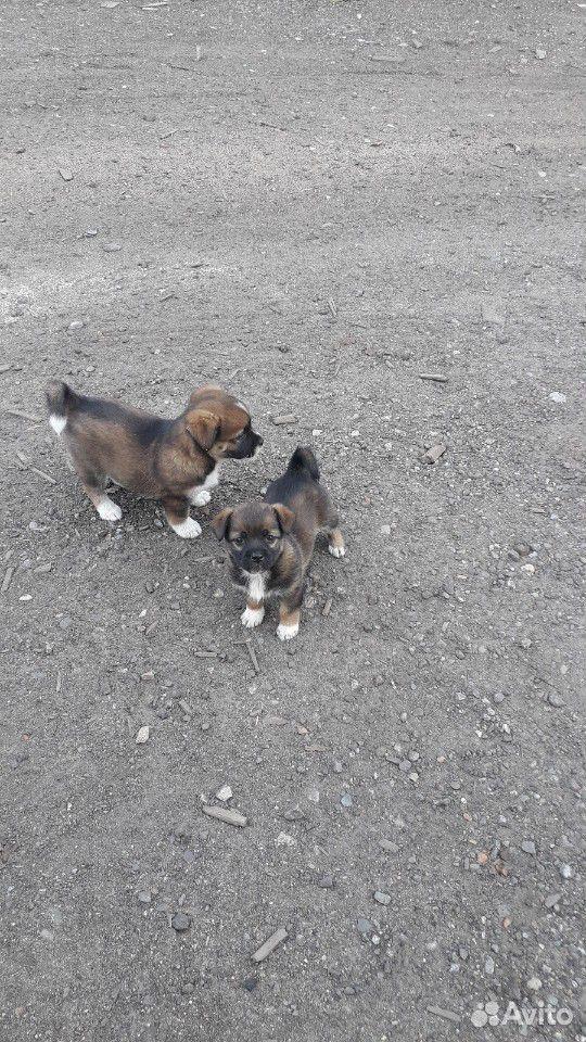 Собака  89132747734 купить 4