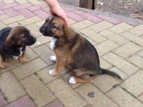 Щенки девочки — Собаки в Геленджике