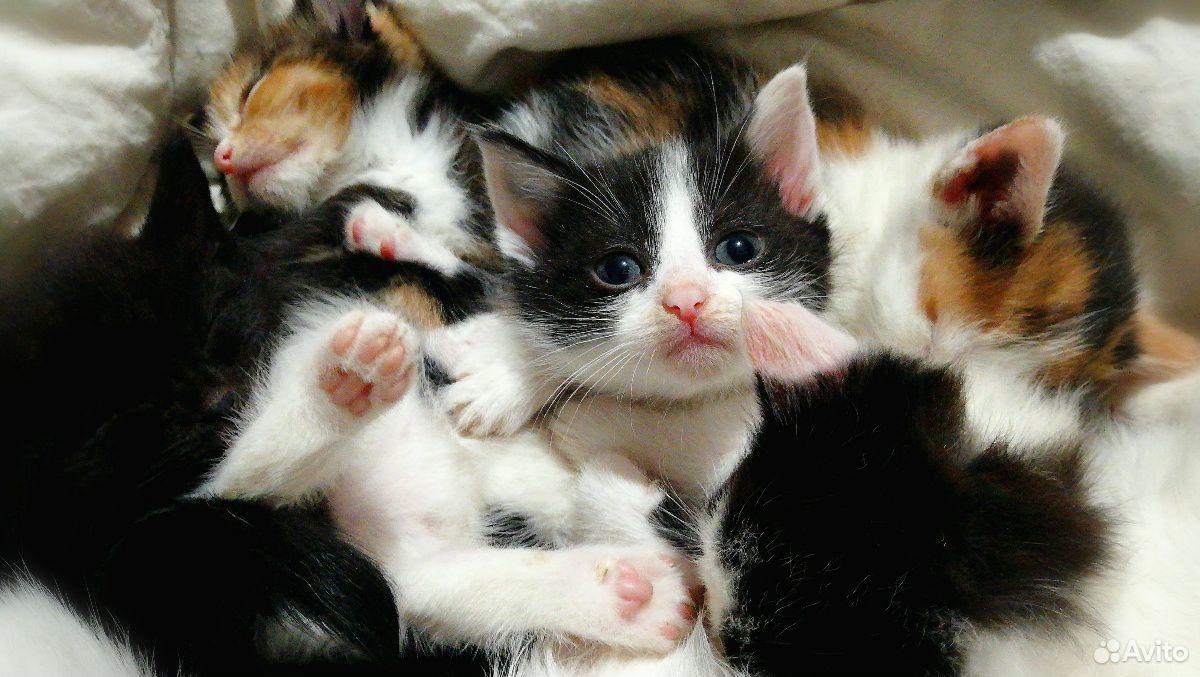 Котята на любой вкус  89879907788 купить 3