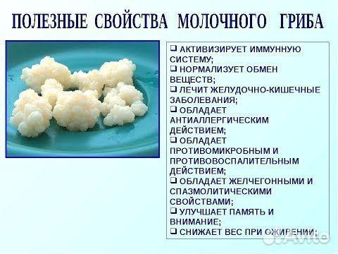 Тибетский молочный гриб (кефирный)  89885368727 купить 1