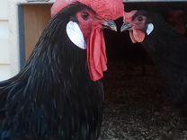 Инкубационное яйцо и цыплята породы Барбезье