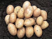 Картошка(оптом)