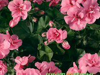 Пеларгония плющелистная Soft Rose