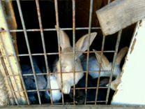 Крольчат