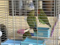 Птенцы неразлучников — Птицы в Москве