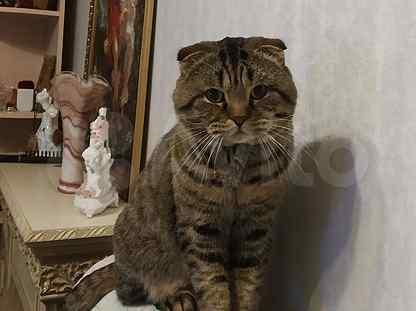Шотландские кот вислоухий на вязку с прямоухой Шот