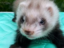 "Хорьки из питомника Fomina""s collection of ferrets"