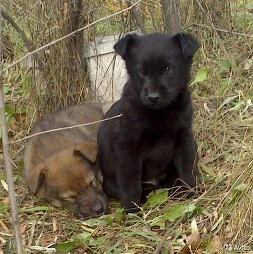 Красивые щенки ищут любящие семьи  89135639765 купить 7