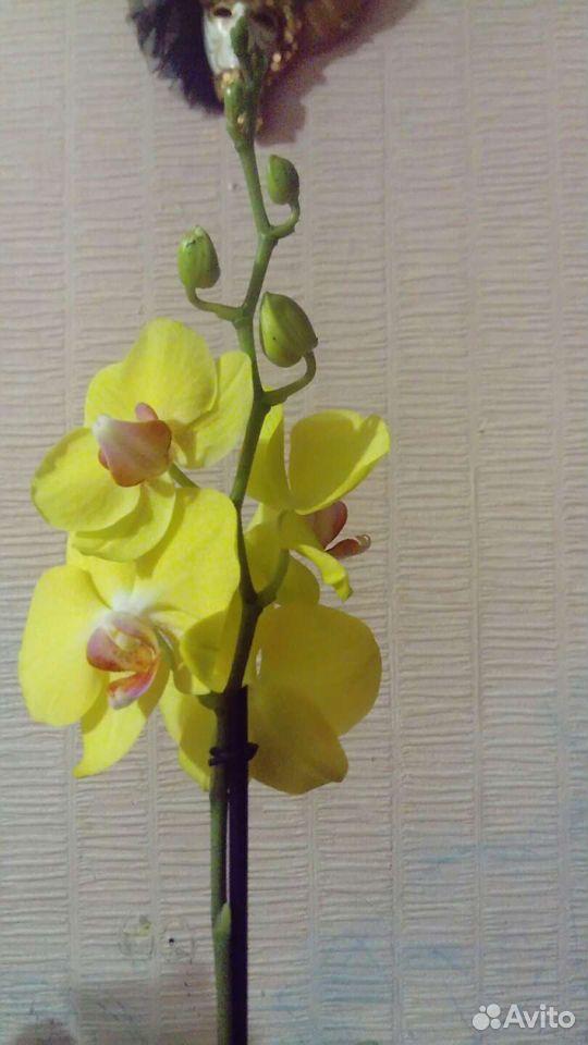 Орхидея 89529483343 купить 4