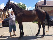 Продажа-лошадей рост 170 см