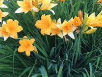 Лилейник желтый многолетний