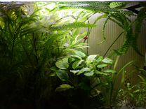 Аквариумные растения и креветки вишни
